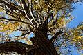 Larix decidua Seckau 20151024 03.JPG