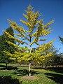 Lasdon Arboretum - Ginkgo biloba - IMG 1511.jpg