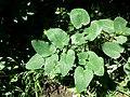 Laserpitium latifolium subsp. asperum sl21.jpg