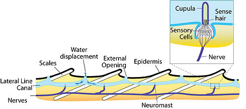 Sketch of the anatomy of the lateral line sensory system.