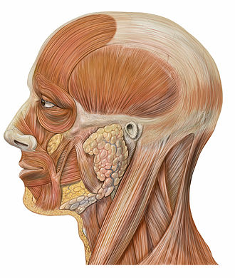 Frown - Illustration of facial muscles and other tissue of the lateral human head and neck