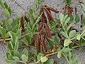 Lathyrus japonicus M2 (2).JPG