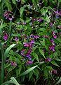 Lathyrus vernus - Flickr - peganum (2).jpg