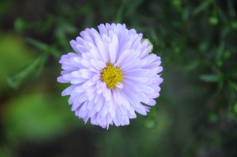 أحلى الألوان من زهور الأقحوان 800px-LavenderChrysa