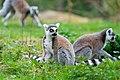 Lemur (35888103443).jpg