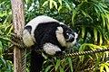 Lemur (36499966163).jpg