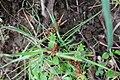 Leocarpus fragilis 114551308.jpg