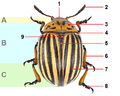 Leptinotarsa decemlineata edited, tagged.png