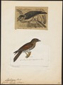 Leptosomus discolor - 1700-1880 - Print - Iconographia Zoologica - Special Collections University of Amsterdam - UBA01 IZ16700263.tif