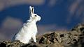 Lepus arcticus 001100820 IMG 6991.jpg