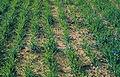 Les Plantes Cultivades. Cereals. Imatge 217.jpg