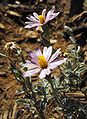 Lessingiafilaginifolia.jpg
