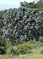 Leucadendron argenteum - Silvertree - Rhodes memorial.JPG