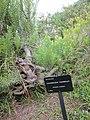 Leucadendron meridianum 1.jpg