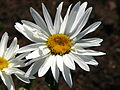 Leucanthemum 'Gruppenstolz' 01.JPG