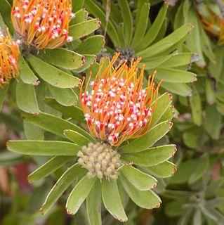 <i>Leucospermum</i> genus of plants