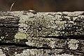 Lichen (41999797155).jpg