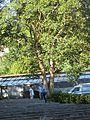 Ligustrum japunicum-Japoniar arbustu.jpg