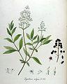 Ligustrum vulgare — Flora Batava — Volume v11.jpg