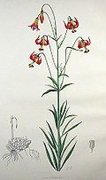 Lilium - Wikipedia, the free encyclopedia