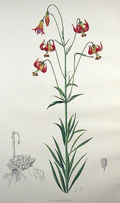 Lilium occidentale.jpg