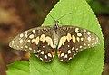 Lime Butterfly Papilio demoleus old specimen DSCN7007 (3).jpg