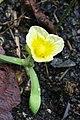 Limnocharis flava (Alismataceae - Limnocharitaceae) (29901857065).jpg