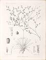 Limonium tunetanum (Bonnet & Barratte) Maire.jpg