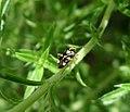 Liocoris tripustulatus. Miridae (36034245842).jpg