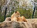 Lion at Blackpool Zoo (geograph 2960462).jpg