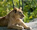 Lionceau - Zoo de Vincennes.jpg