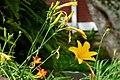Lirio amarillo - Azucena amarilla (Hemerocallis lilioasphodelus) (14412490941).jpg
