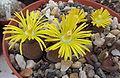 Lithops lesliei ssp. lesliei v. mariae Cole 141 02.jpg