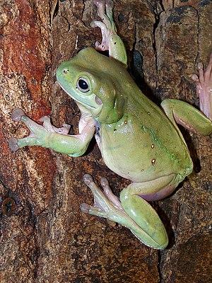 Australian green tree frog - Specimen climbing a tree