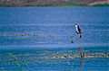 Little Pied Cormorant (Phalacrocorax melanoleucos) (9856206475).jpg