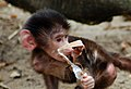 Little baboon (5595263029).jpg