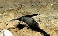 Little cormorant in flight.jpg