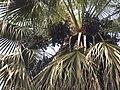 Livistona chinensis - Fruit.jpg