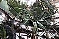 Livistona chinensis 11zz.jpg
