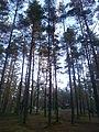 Ložmetējkalna skatutornis starp kokiem.JPG