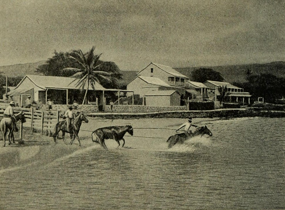 Loading Cattle at Kailua, Geography of the Hawaiian Islands (1908)