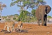 Éléphant et lions à Savuti