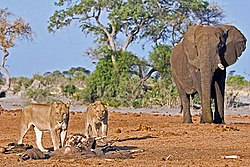 250px-Loewen_elefanten dans LION