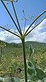 Lomatium nudicaule stem.jpg