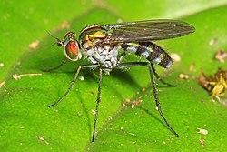 Long-legged Fly - Plagioneurus univittatus, Florida Panther National Wildlife Refuge, Collier County, Florida.jpg