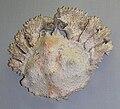 Lopholithodes mandtii (museum).jpg