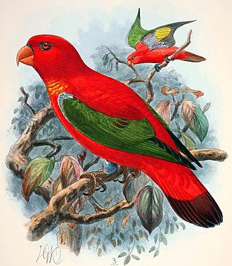 Purple-naped lory - Lorius tibialis, which was either an extinct species or just an aberrant form of Lorius domicella