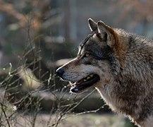 Loup commun DSCF1576.jpg