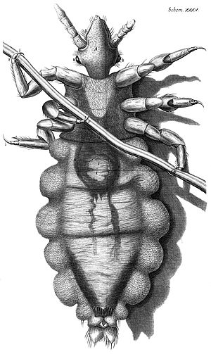 Louse - Drawing of a louse clinging to a human hair. Robert Hooke, Micrographia, 1667