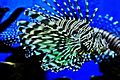 Lovely Lion fish.jpg
